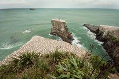 Gannet calony在Muriwai海滩 免版税库存照片