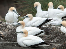 Gannet colony at Muriwai beach. Western shore of Auckland. New Zealand royalty free stock photo