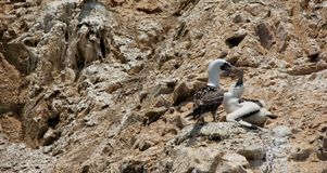 Gannet and Chick Royalty Free Stock Photo