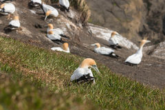 Gannet collecting grass for nest Stock Photo