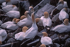 Gannet colony. Northern gannets in breeding colony,St.Mary's Rock, Newfoundland,Canada Royalty Free Stock Photo