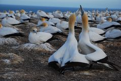 The gannet colony Royalty Free Stock Photos