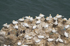 Gannet Colony Stock Photography