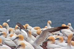 Free Gannet Colony Stock Images - 20728664