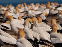 Gannet colony. Socializing Gannets in a breeding colony Royalty Free Stock Image