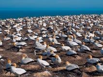 Gannet colony Stock Photo
