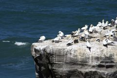 Gannet Colony Royalty Free Stock Images