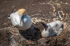 Australasian gannet nesting stock image