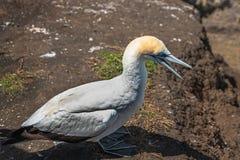 Australasian gannet nesting stock photography
