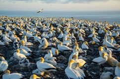 Gannet Colony at Cape Kidnappers in Hawkes Bay near Hastings on North Island, New Zealand stock image