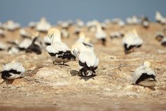 Gannet colony in Cape Kidnappers stock photo