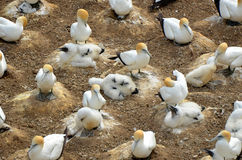 Gannet colony with chicks Stock Photography