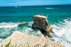Gannet colony on cliff stock photography
