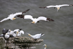Gannet Colony - England Royalty Free Stock Photos
