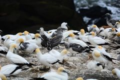 Muriwai`s gannet colony, New Zealand. Thousands of Gannets Morus serrator nest here from August to March each yea stock photo