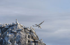 Gannet colony Stock Images