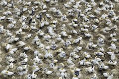Gannet colony at Muriwai beach, New Zealand stock photo
