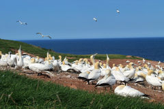 Gannet colony Royalty Free Stock Photo