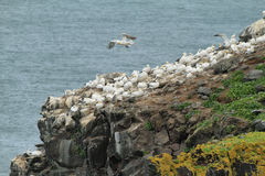 Gannet colony in Raudinupur cliffs Stock Photos