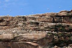Gannets on Bonaventure island Stock Photos