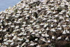 Gannet colony Stock Photos