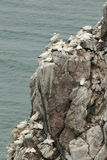 Gannet colony. Royalty Free Stock Photography