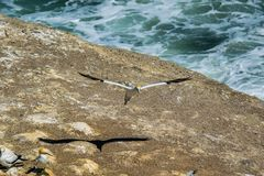 Gannet coming in for landing royalty free stock images