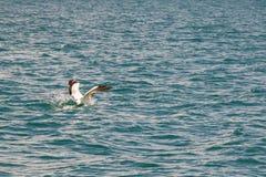 Australian Gannet Landing In Ocean royalty free stock photo