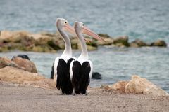 Gannet couple Royalty Free Stock Photo