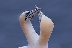 Gannet couple greeting each other. With beaks rubbing each other Royalty Free Stock Images