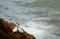 Gannet courtship dance against stormy sea. A pair of Gannets in their courtship dance, oblivious to the stormy sea. Captured at Bempton Cliffs of the English Stock Photos