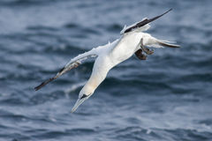 Gannet diving into the sea. Gannet is diving into the sea, hunting for fish Stock Photo