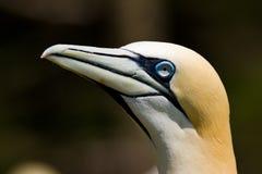 Gannet do norte imagem de stock