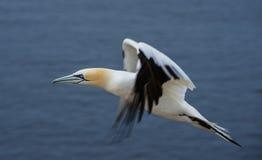 Gannet do norte (bassanus do Morus) Fotos de Stock