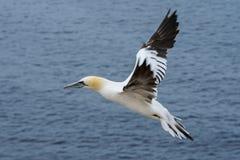 Gannet do norte (bassanus do Morus) Imagem de Stock