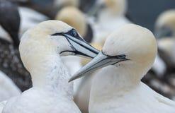 Gannet do norte (bassanus do Morus) Foto de Stock