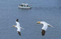 Gannet do norte (bassanus do Morus) Fotografia de Stock Royalty Free