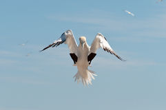 Gannet do norte de aterragem Fotos de Stock