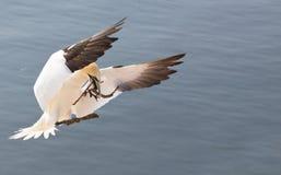Gannet do norte de aterragem Imagens de Stock