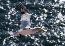 Gannet durante il volo Fotografia Stock Libera da Diritti