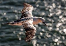 Gannet durante il volo Immagini Stock