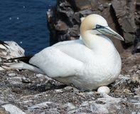 Gannet with egg. A Gannet breeding on one egg on BassRock stock images