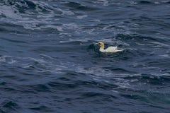 Gannet en el mar Fotos de archivo
