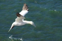Gannet en mediados de aire Imagen de archivo