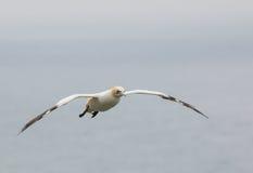 Gannet en vol Photo stock