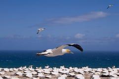 Gannet en vuelo imágenes de archivo libres de regalías