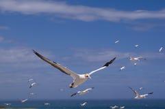 Gannet en vuelo foto de archivo