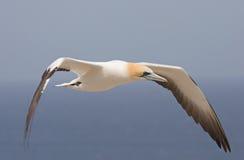 Gannet en vuelo imagen de archivo libre de regalías