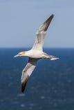Gannet en vuelo Foto de archivo libre de regalías