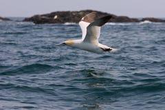 Gannet en vuelo bajo sobre el mar Foto de archivo